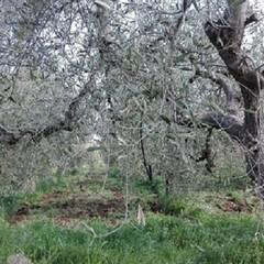 Strage di ulivi nelle province di Bari e Bat