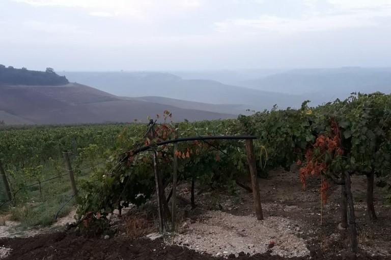 danni a tendoni di uva a Minervino Murge