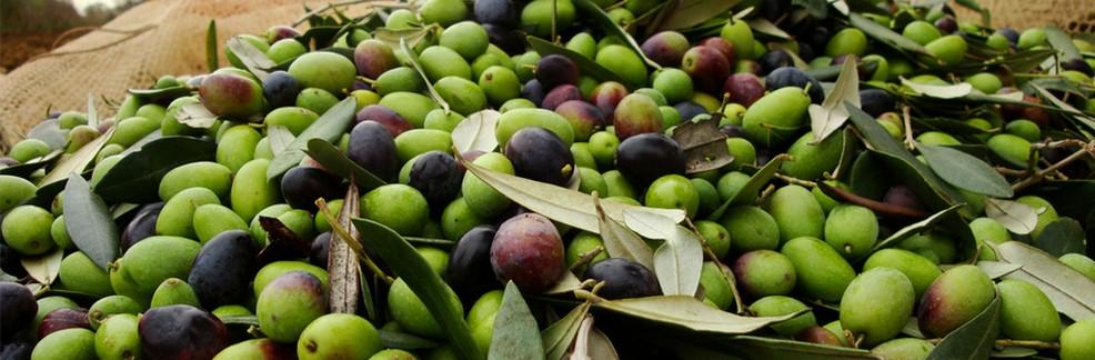 Escalation di furti di olive in Puglia