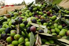 Crolla la produzione di olio d'oliva a causa di maltempo e xylella
