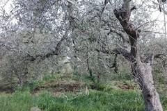 """Maltempo, Coldiretti: """"Strage di ulivi nelle province di Bari e Bat, sale la conta dei danni"""""""