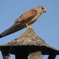 Salvato in città un falco grillaio ferito