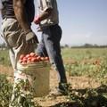 """Caporalato, Flai Cgil e Fai Cisl: """"Serve la Rete del lavoro agricolo di qualità"""""""