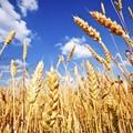 Grano: azzerato l'import di grano canadese per pasta