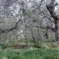 In Puglia aumentano i furti olive: danni all'economia