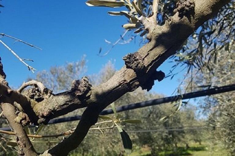 Xylella fastidiosa: attività di monitoraggio anche a Spinazzola
