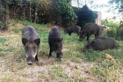 Cinghiali fuori controllo, Cia Puglia: «Distruggono ettari di coltivazioni»