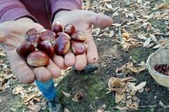 Con l'autunno arrivano le castagne, patrimonio della nostra Murgia