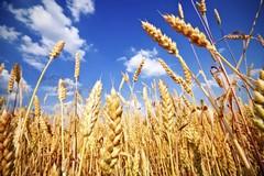 Allarme siccità, a rischio grano e cereali