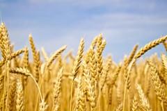SOS grano, cala del 20% la produzione a causa dei cambiamenti climatici