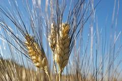 Maltempo e gelo si abbattono sul grano di Spinazzola