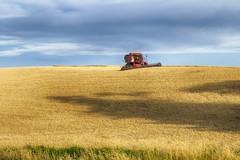 Troppo bassi i prezzi del grano, aziende a rischio sopravvivenza