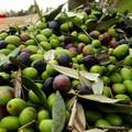 Maltempo e forte vento, Coldiretti: «Sta spazzando via le olive»