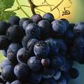 Furti di uva da tavola nella Bat, Confagricoltura chiede «Potenziare pattugliamenti»