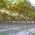 Uva da tavola, Cia Puglia: «Teloni utili e fondamentali, vanno resi ecocompatibili»